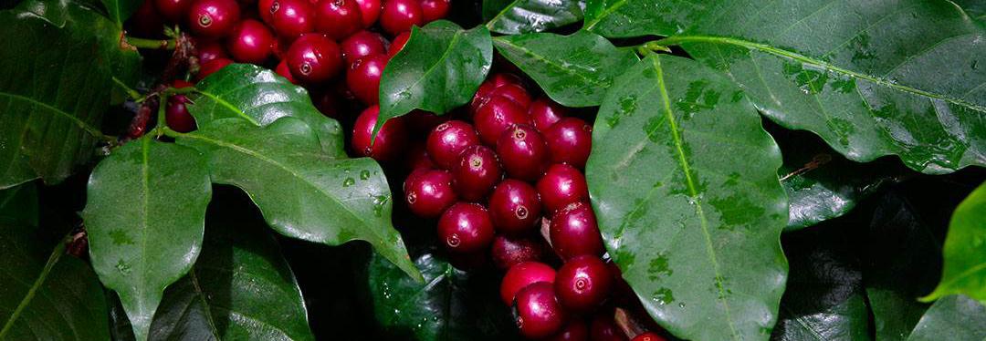 Ботаника на кафето
