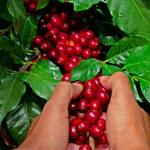 Въведение в ботаниката на кафето