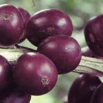 Натурални и култивирани сортове кафе