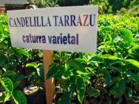 Коста Рика Таразу, Ла Канделийа Естейт – изтънчено кафе за ценители