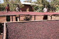 Етиопия Харар Лонгбери – кафе с нотки на тъмен шоколад и боровинки